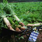 子どもと収穫体験☆「世羅高原農場」の大根まつり