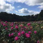 色鮮やかな花たちにうっとり♡世羅高原農場のダリアを見に行こう!
