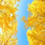 2021年最新★秋に行きたい!広島のおすすめイチョウスポット4選